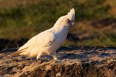 stock photo of cockatoos  - A beautiful cockatoo standing on a large rock in parklands in Victoria - JPG