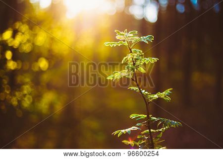 Sunset In Autumn, Fall Forest. Young Leaf In Sunlight