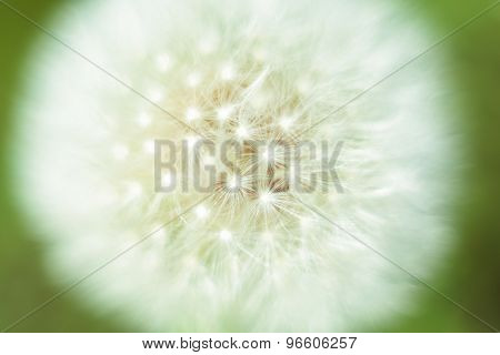 Big white macro dandelion