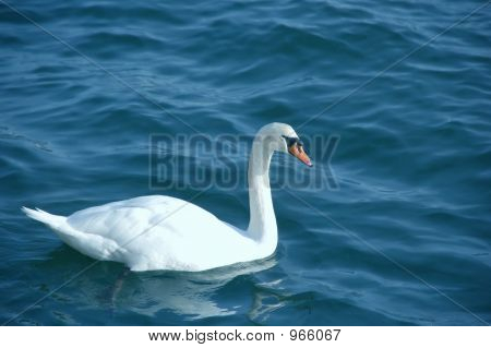 Swan Alone
