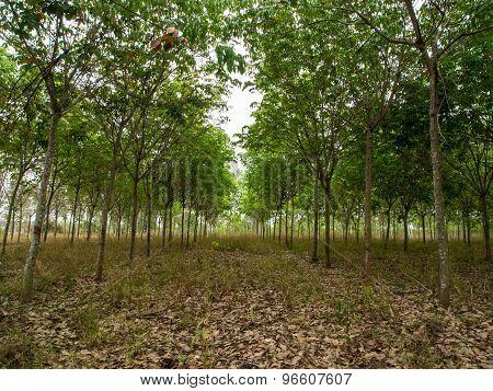 para rubber garden