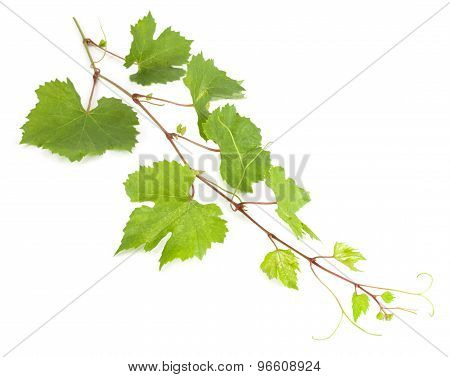 Fresh Vine Branch Isolated On White Background
