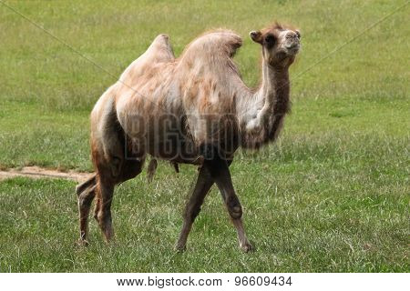 Bactrian camel (Camelus bactrianus). Wildlife animal.