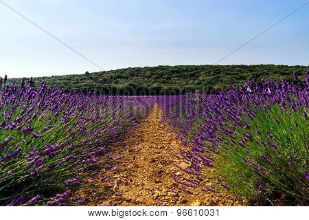 Beautiful Violet Fields Of Lavender In Provence
