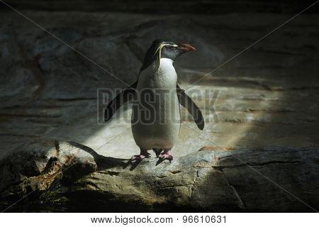 Northern rockhopper penguin (Eudyptes moseleyi). Wild life animal.