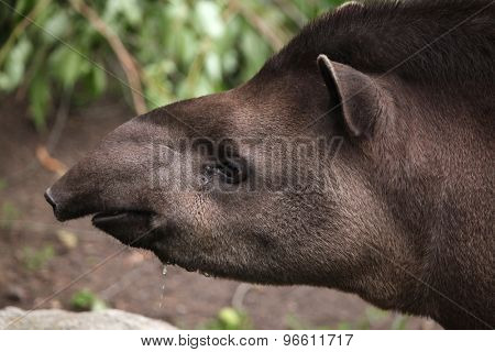 South American tapir (Tapirus terrestris), also known as the Brazilian tapir. Wildlife animal.