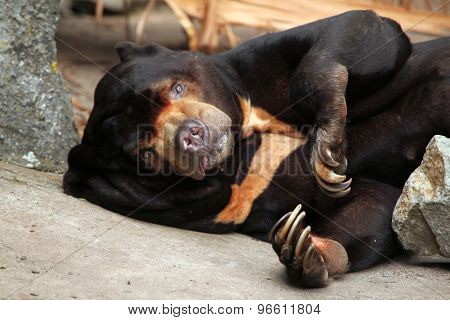 Malayan sun bear (Helarctos malayanus). Wildlife animal.