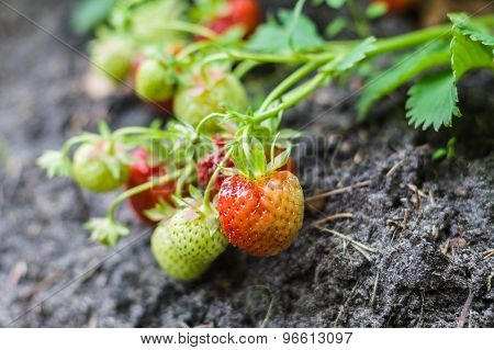 Ripe And Unripe Strawberries Growing On The Ground, Narrow Depth