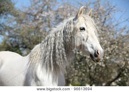 Portrait Of Beautiful Andalusian Mare In Spring