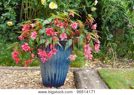 Pink Double Fuchsia Plant In A Blue China Pot