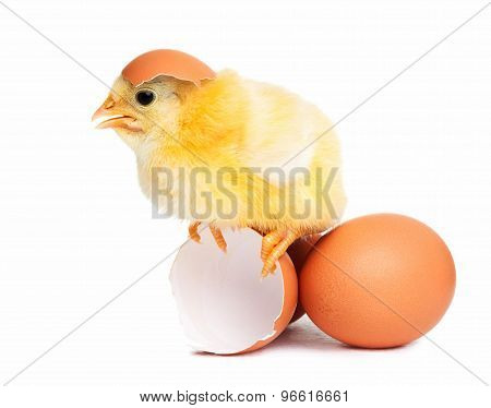Cute Chick Isolated With Eggs