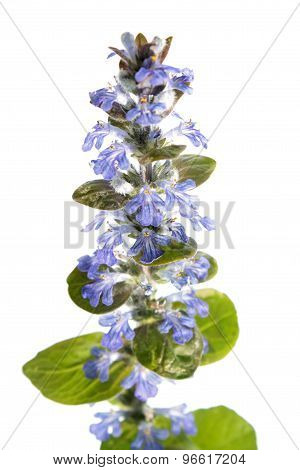 Blue bugle (Ajuga reptans) isolated on white