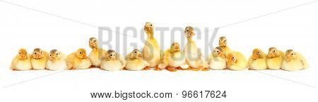 Group Of Fluffy Baby Ducklings