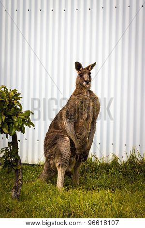 Male Red Kangaroo standing
