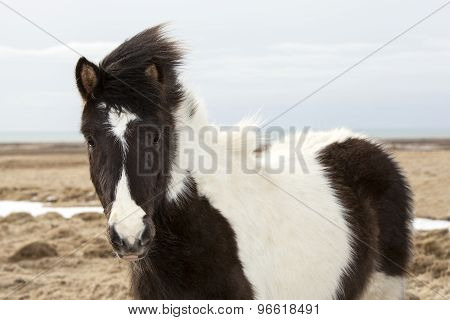 Portrait Of A Young Black White Icelandic Pony