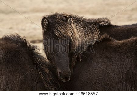 Black Icelandic Horse On A Meadow