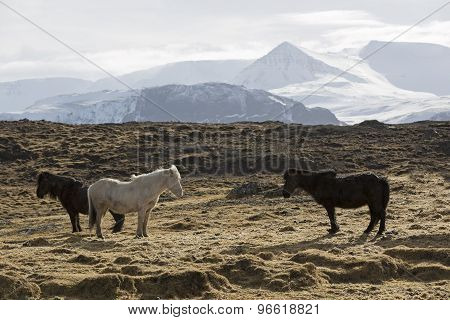 Herd Of Icelandic Horses On A Meadow