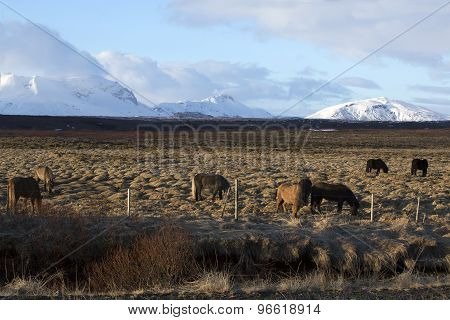 Herd Of Icelandic Horses On A Meadow In Evening Light