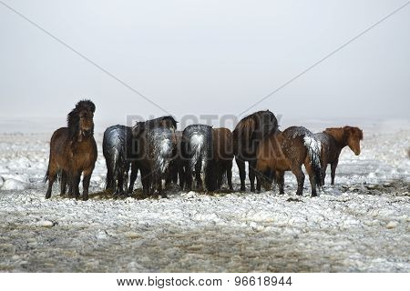 Herd Of Icelandic Horses After Snow Storm