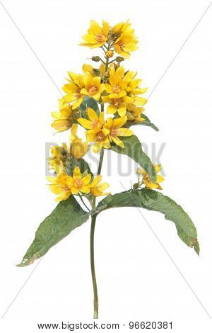 Garden Yellow Loosestrife isolated on white
