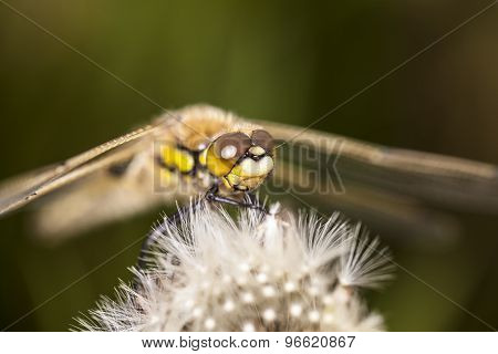 Dragonfly, Macro Picture