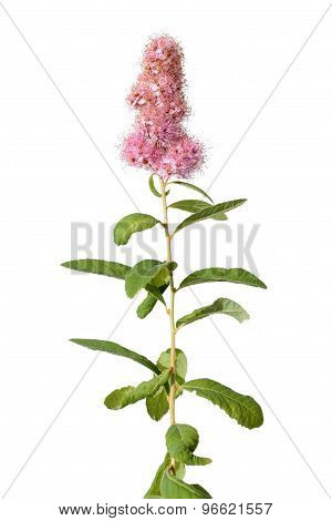 Bridewort Spiraea isolated on white