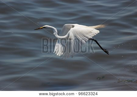 Great Egret flying over water