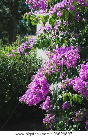 Bougainvillea Purple Flower In Nature