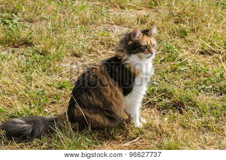 Colored female cat