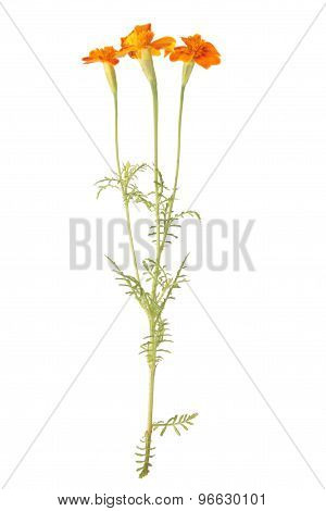 Yellow signet marigold flowers isolated on white