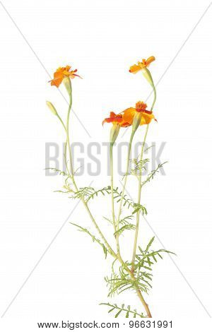 Orange signet marigold flowers isolated on white