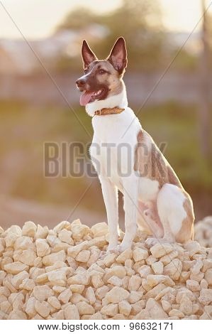 Domestic Dog On Walk Sits On Filling Brick.