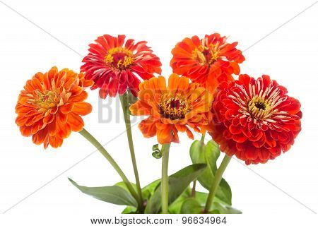 Bouquet Of Red Zinnia Flowers