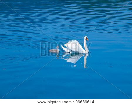 White swan with cygnet