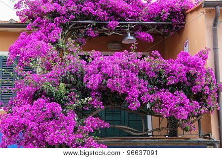 Purple Flowers On Balcony