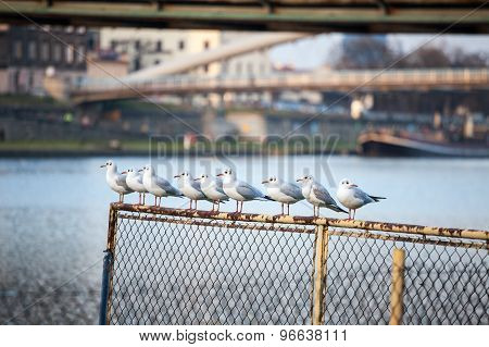 Seagulls In A Row In The City