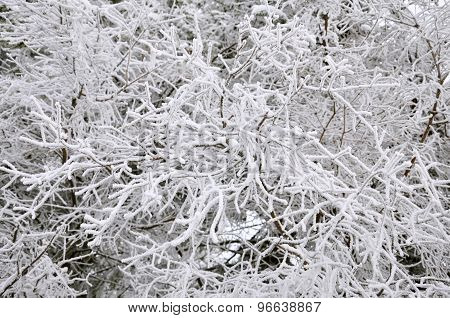 Frost on a Tree branches