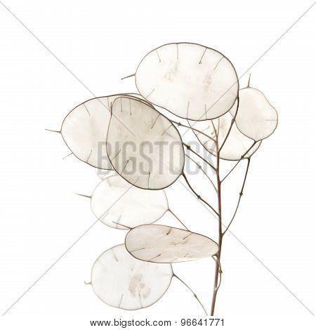 Lunaria Annua, Silver Dollar Plant