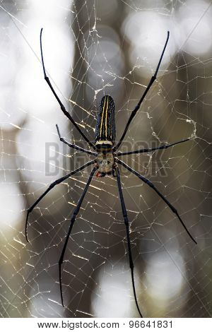 Golden Silk Orb-Weaver.