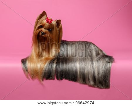 Yorkshire Terrier Dog With Long Groomed Hair Lying On Pink