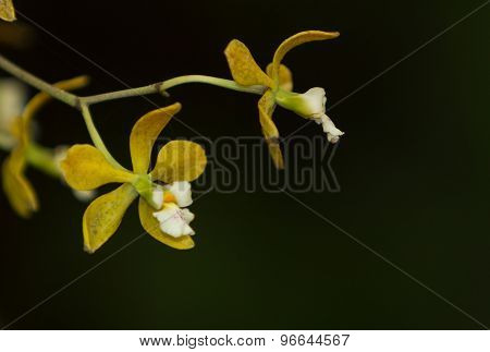 Yellow Encyclia tampensis orchid