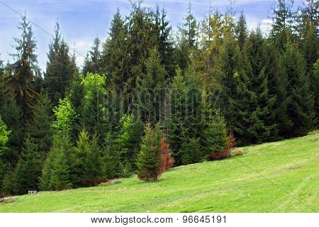 Green Fir-trees On The Green Valley And Blue Sky