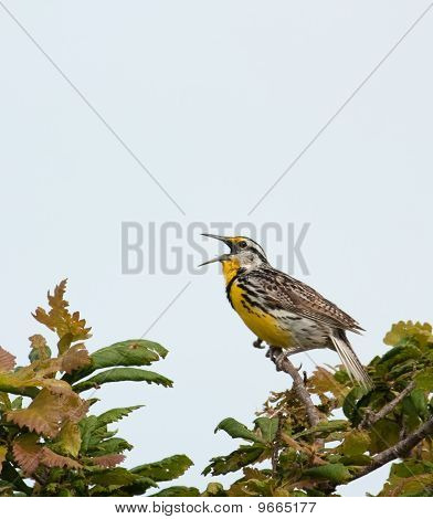 Western Meadowlark, Sturnella Neglecta