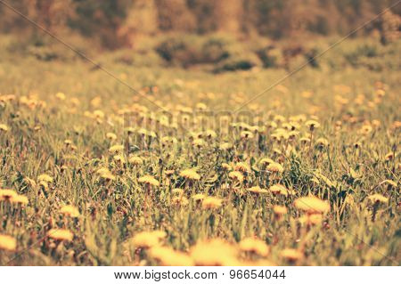 Blurred Sunny Photo Meadow Of Many Yellow Dandelions Flowers, Vintage Background