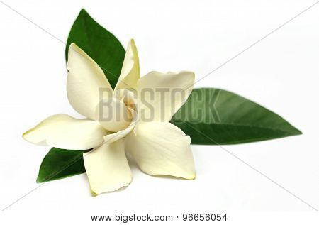 Gardenia Or Gondhoraj Flower Of Southern Asia