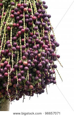 Red Palm Fruit On The Tree