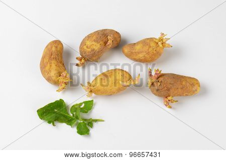 group of old sprouting potatoes on white background