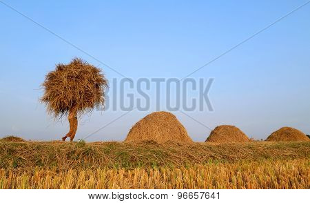 Bangladeshi People Carries  Newly Harvested Paddy
