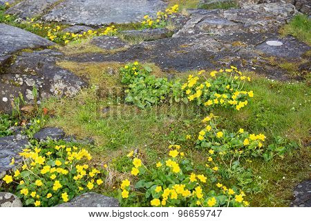 Caltha Palustris Or Marsh Marigold Or Kingcup