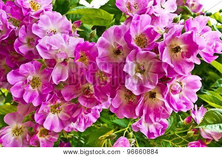 Pink hedgerow flowers.